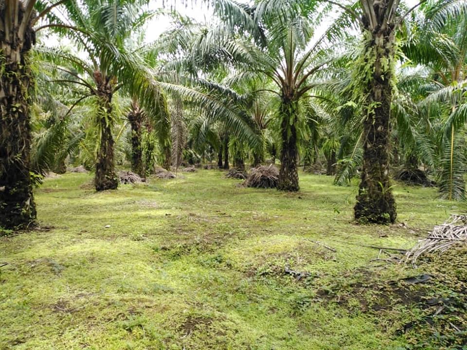 Palm tree farm for sale in Viquilla 2, Rio Claro
