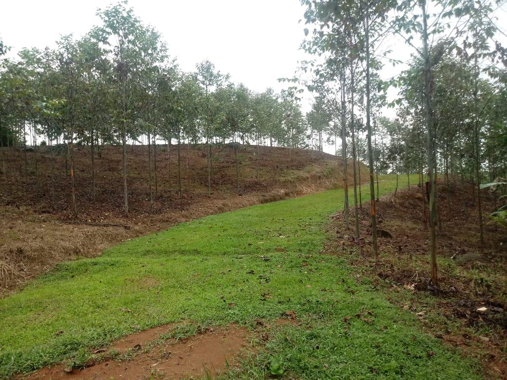 Farm with 1250 eucalyptus trees for wood in Cajon, Perez Zeledon